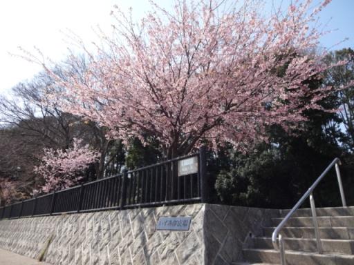 いずみ桜広場のいずみ桜