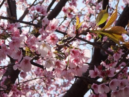 いずみ桜広場の桜