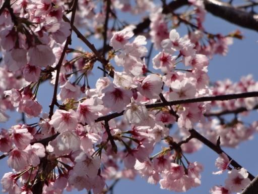 さくら広場のいずみ桜