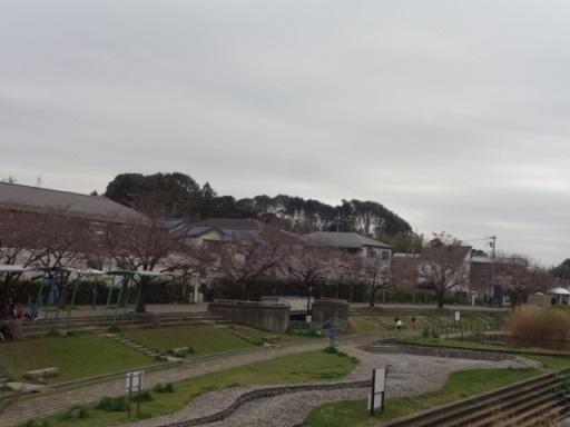 地蔵原の桜