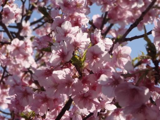 和泉遊水地河津桜