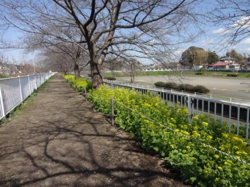 和泉遊水地菜の花
