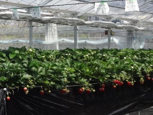 苺狩り農園