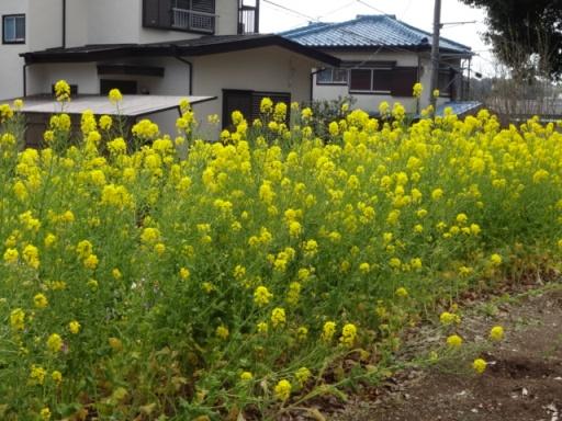 泉中央公園の菜の花