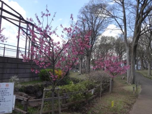中田中央公園ひ桜