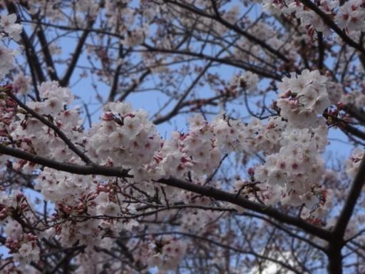 中田中央公園桜