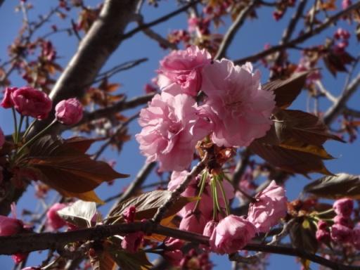 遊水地八重桜