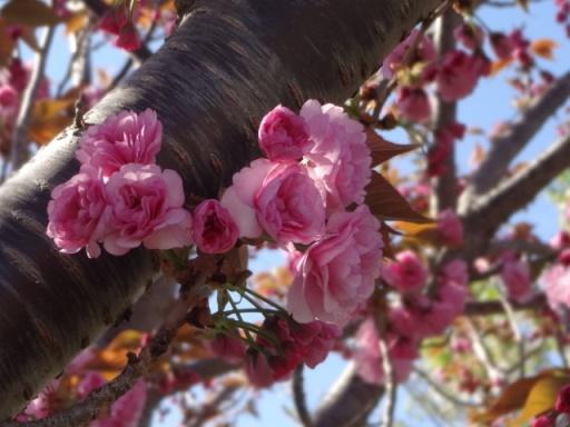 和泉遊水地八重桜