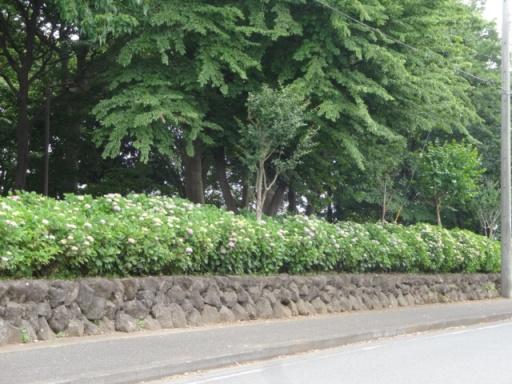 中田中央公園アジサイ