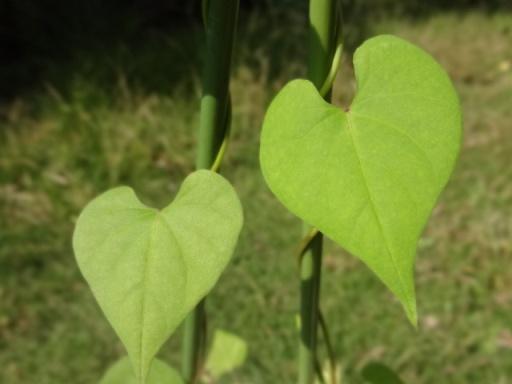 アサガオのハートの葉