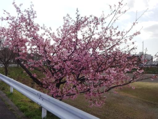 和泉遊水地の桜