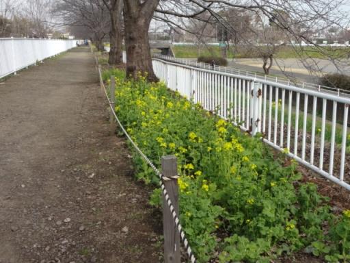 和泉遊水地の菜の花