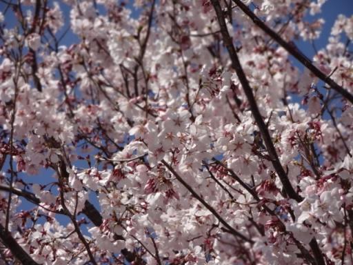 いずみ野の桜