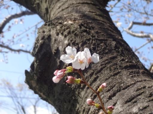 地蔵原の水辺桜