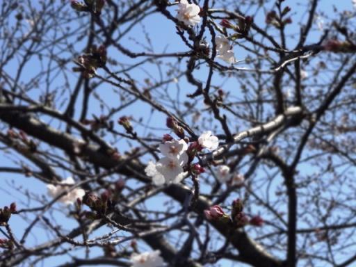 遊水地の桜