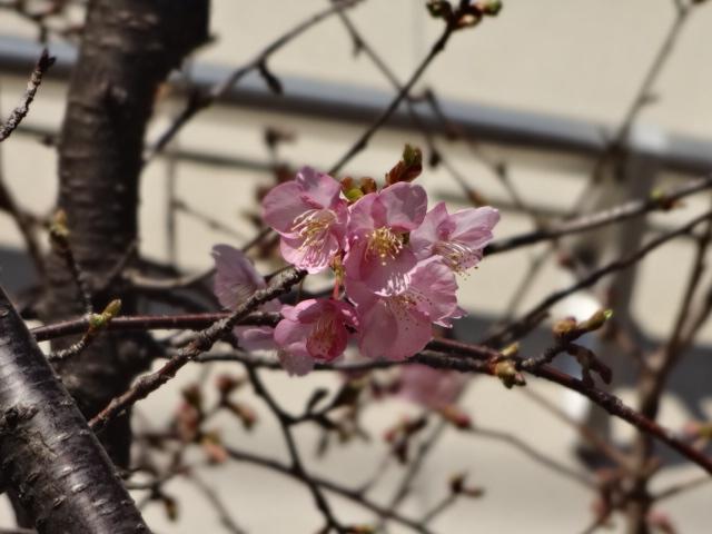 河津桜2021