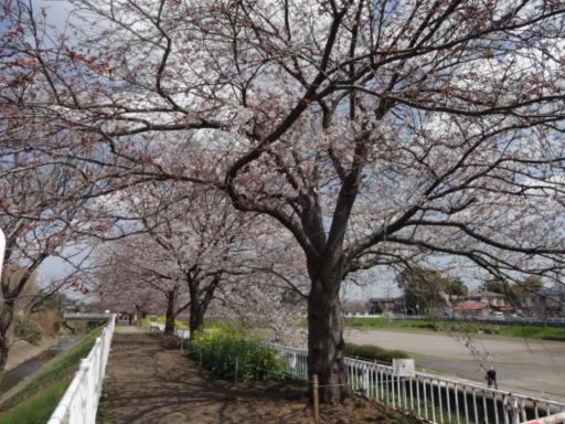 桜2021-遊水地